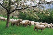 Ημερίδα της ΠΕΔ Θεσσαλίας για την κτηνοτροφία στην Ελασσόνα