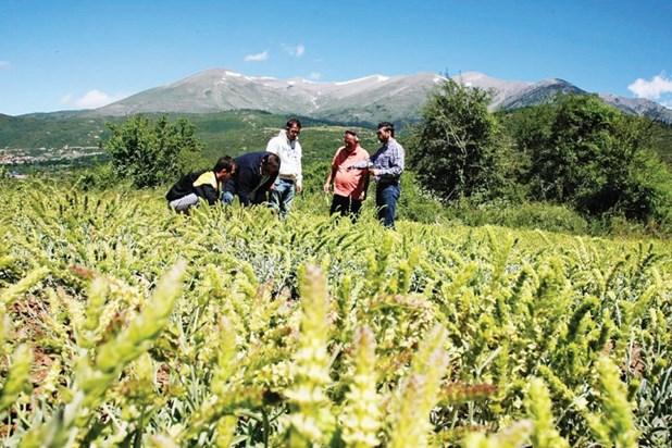 Νέες προοπτικές για το τσάι Ολύμπου - Εξάγεται ως καλλυντικό σε δεκάδες χώρες
