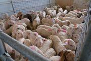 Xαμηλά οι τιμές των αμνοεριφίων - Αγωνία των Θεσσαλών κτηνοτρόφων ενόψει Πάσχα