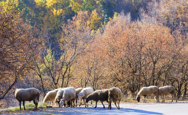 Νέες λεπτομέρειες για την υπόθεση κτηνοβασίας με προβατίνες στη Λάρνακα