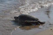 Βρέθηκε νεκρή θαλάσσια χελώνα στον Αγιόκαμπο