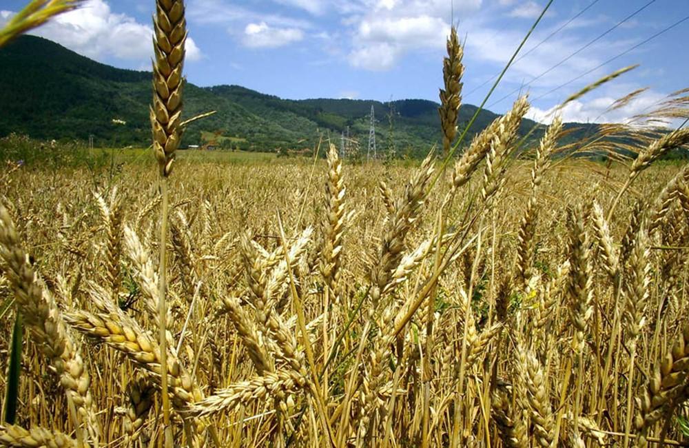 Να αποζημιωθούν οι παραγωγοί των σιτηρών στο Δήμο Ελασσόνας