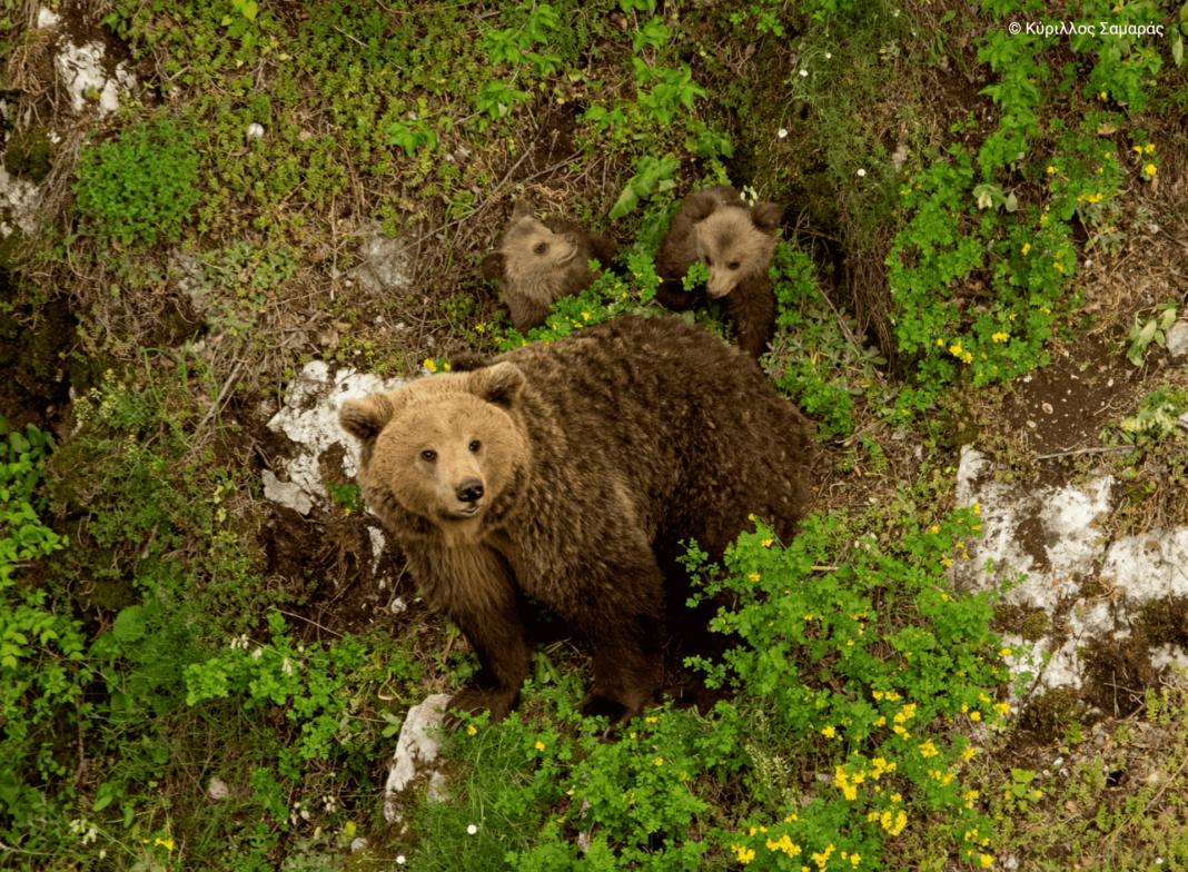 Αρκούδα στα χωριά της Ελασσόνας - Ανησυχούν οι κάτοικοι