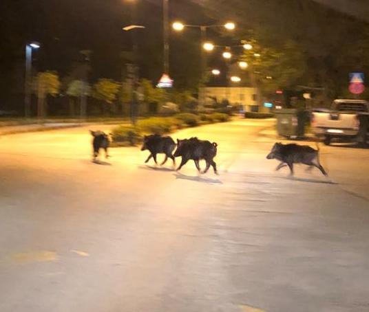 Εφιάλτης με… αγριογούρουνα στους δρόμους των Τρικάλων