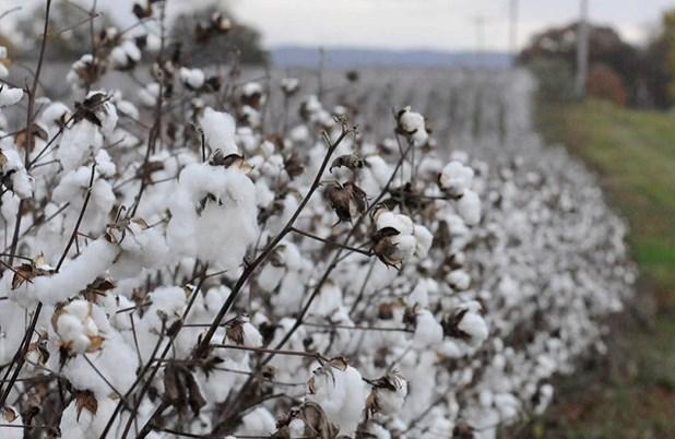 Δήμος Φαρσάλων: Μέχρι 29 Οκτωβρίου οι δηλώσεις ζημίας για το βαμβάκι